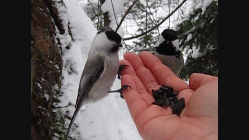 Кормлю птичек