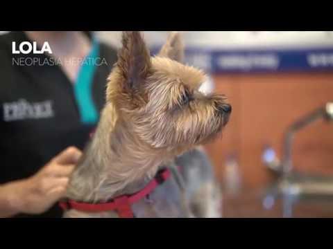 Гепатоцеллюлярная карцинома у собаки породы йоркширский терьер