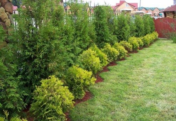 5 причин выращивания туи в качестве зеленого забора: