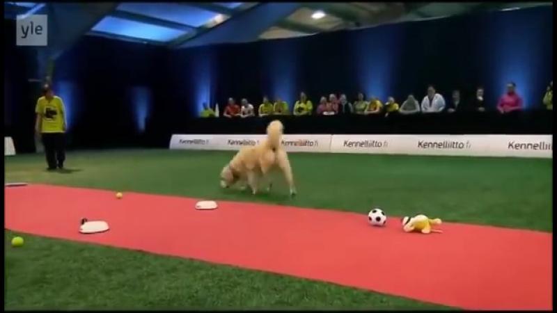 Конкурс собак Золотой ретривер отжег