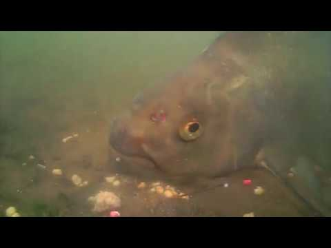 Лещ подводное видео 4 ...реакция на прикормку и насадку