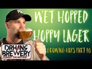 Hop Harvesting and Brewing with wet hops - Grow hops at home part 10