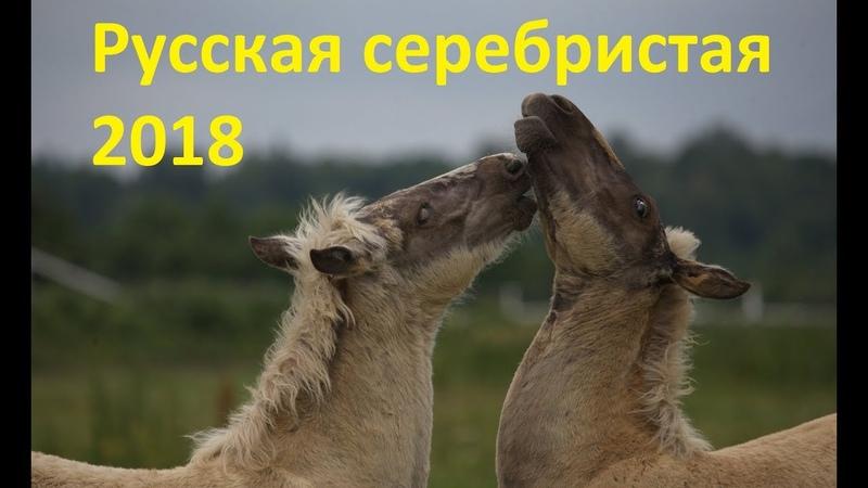 Русская серебристая Результаты проекта 2018 года