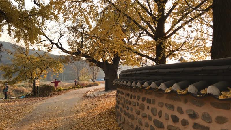 А вы знаете где в Корея находится самая большая Деревня деревьев гинкго VisitKorea