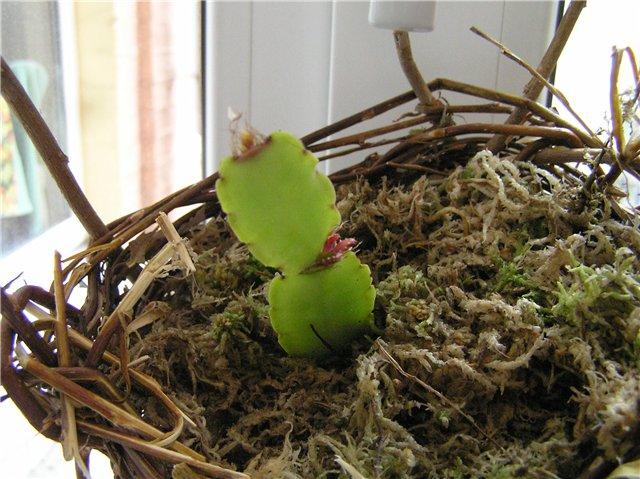 Зигокактус Декабрист: размножение - мастер-класс в фотографиях