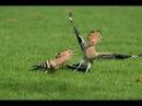 Mature Hoopoe Bird Feeding Their Young