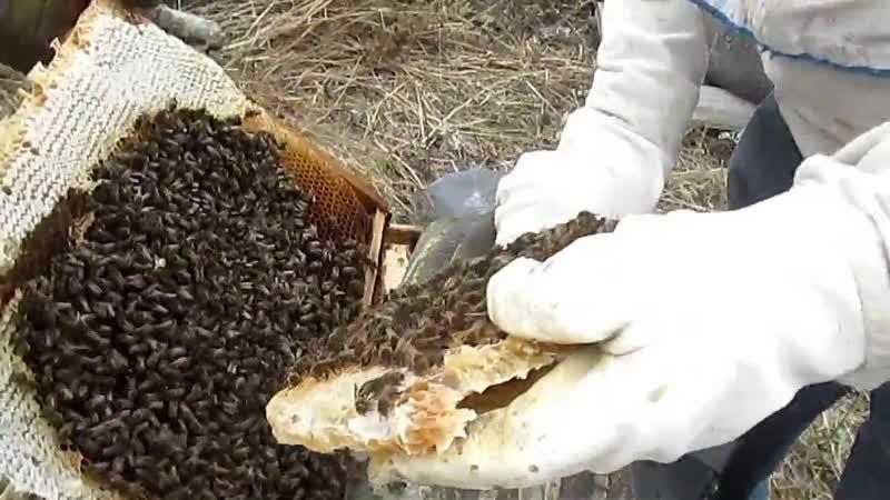 Бурзян. Исмаил агай о цене бортевого мёда и его пчёлы.
