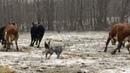Bandit practices his herding skills   Australian Cattle Dogs