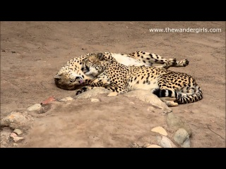 On a trip to Africa - Cheetah's cuddling