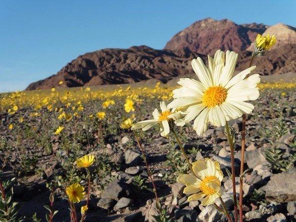 Самое жаркое место на планете — американская Долина Смерти — зацвела впервые за 10 лет.