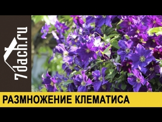 Размножение клематиса черенками - 7 дач