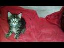 Рыжие бестии. Образцовые котики породы Мейн-кун