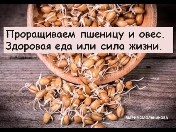 Проращиваем пшеницу и овес. Здоровая еда или сила жизни.