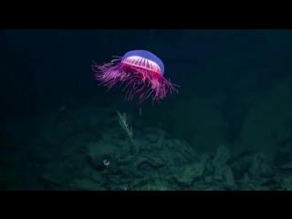 Невероятно красивая и редкая медуза Halitrephes maasi