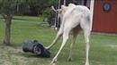 White moose vs robot lawnmower