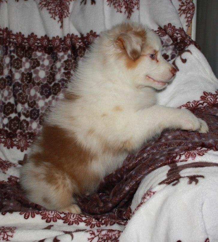 Красный мрамор, щенки в Ленинградской обл. NQZybV2aPAc