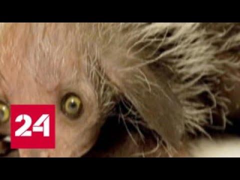 Новорожденная руконожка получила имя персонажа из Гарри Поттера - Россия 24