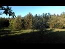 яблоневый сад на брошенной земле посеянный коровами