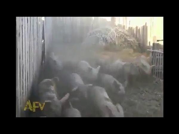 портал в свинячий год открыт)