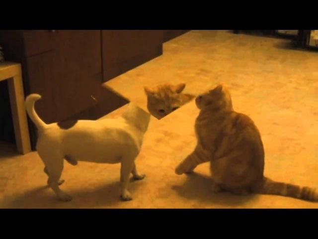Джек рассел терьер и кот британец играют продолжение