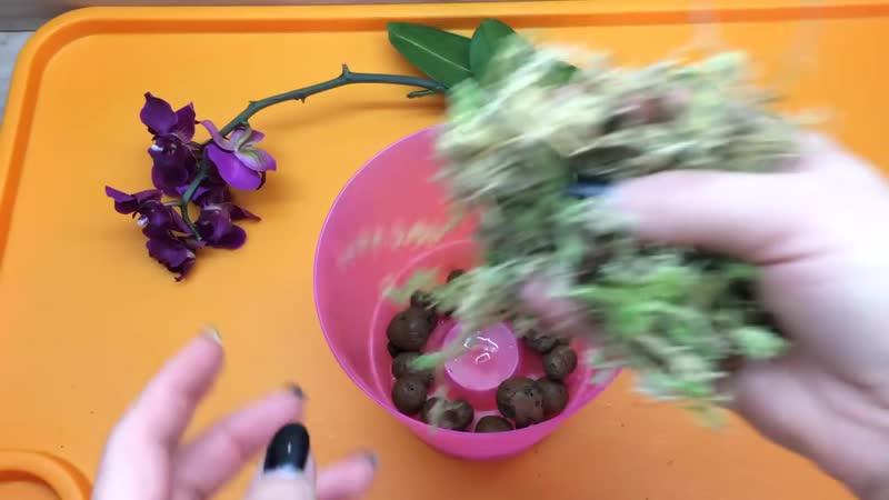 Необычный экстренный способ реанимации орхидеи без корней с цветоносом
