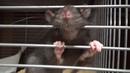 Очень смешной крысенок А вы видели язычёк крысы