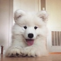 Samoyed Page on Instagram Baby #woof