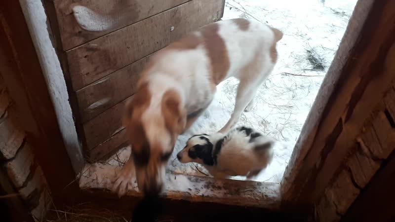 (2) в сарае у коз