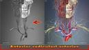 Anterior radicular arteries | Arteries of head and neck | 3D Human Anatomy | Organs