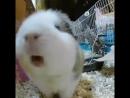 Screaming guinea pig