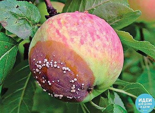 Что делать, если яблоки гниют на дереве