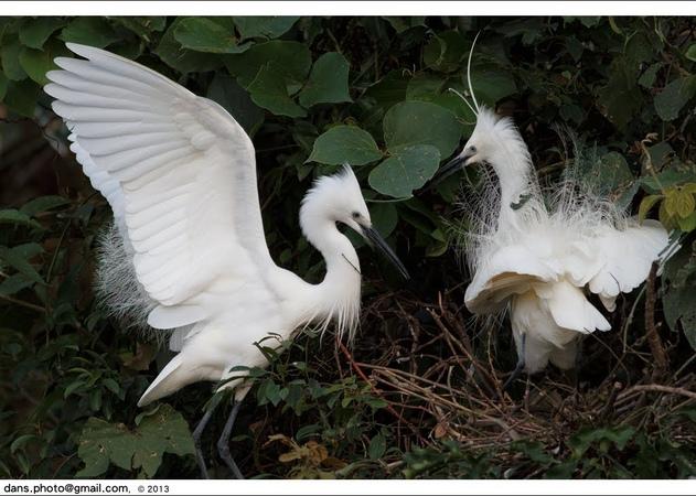 Малая белая цапля / Little Egret / Egretta garzetta