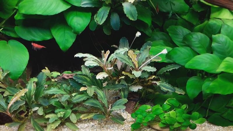 Медленный травник Буцефаландры Анубиасы
