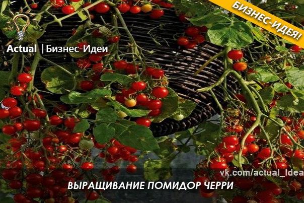 Как заработать на выращивание помидор 354