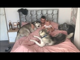 Waking up with millie and rupert the huskies!