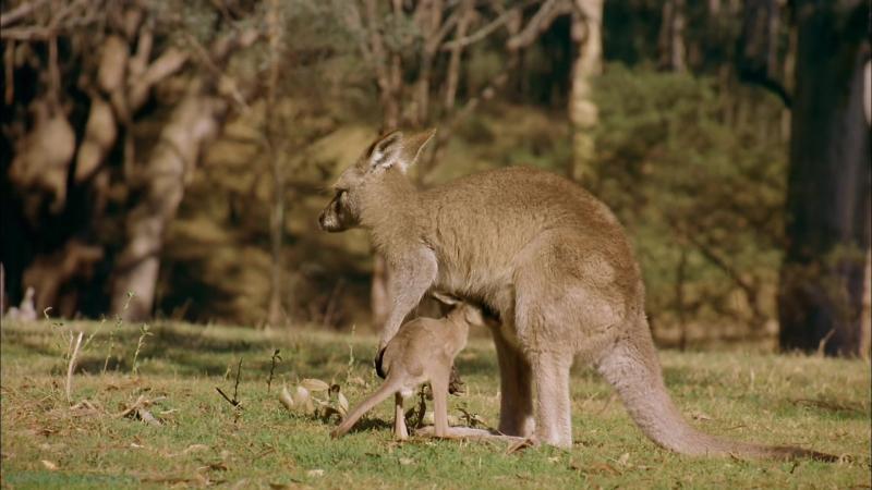 «Австралия: Земля вне времени» (Познавательный, природа, животные, 2002)