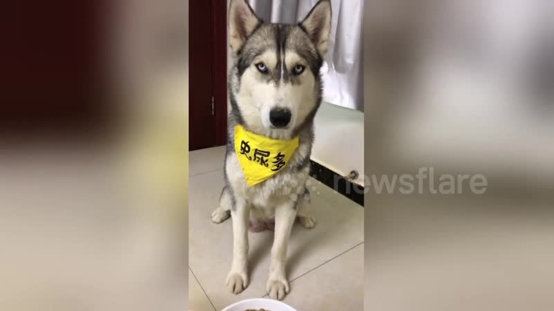 Husky Doesnt Like Owner Trying to Trick Him