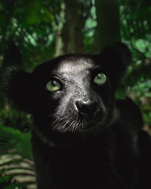 Черный лемур (Мадагаскар)