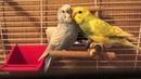 Попугаи первый раз в одной клетке Тоша и Лайма на V TV