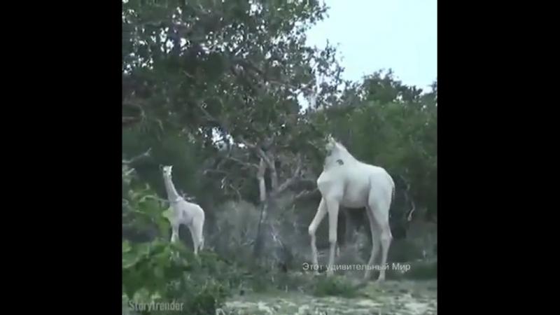В Кении обнаружили очень редких белых жирафов, мать с детенышем, и впервые сняли на видео.