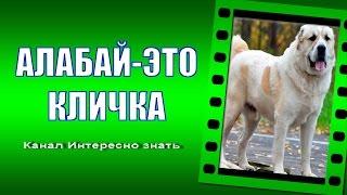 Среднеазиатская овчарка Алабай это кличка или порода Alabai is a nickname or breed