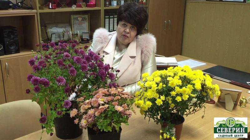 Хризантемы мультифлора. Подготовка к зиме.