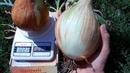 Тонкости выращивания лука Эксибишен (1,2 кг луковица)