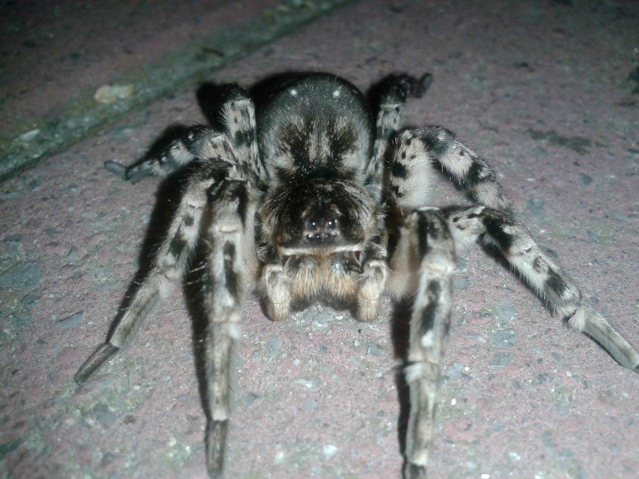 На Пушкинской набережной Таганрога был найден обитатель Средней Азии - опасный паук тарантул! ВИДЕО