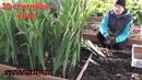 Уборка и хранение луковиц гладиолусов