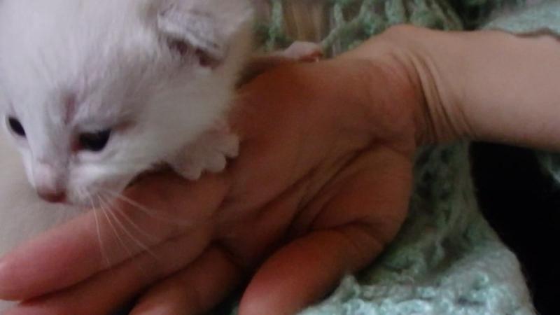 Белый котенок с серыми ушками и хвостиком.P5194043