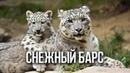 Снежный барс ирбис / Интересные факты о кошках