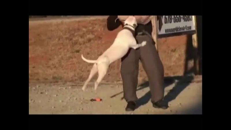 Питбуль в действии показывают, сильная собака для грязной работы защиты.