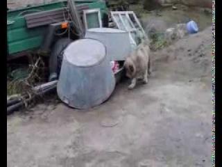 Рита Из Столицы Украины  Щенок кавказской овчарки  2 месяца!