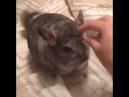 Шиншилла виляет хвостом.chinchilla wagging his tail